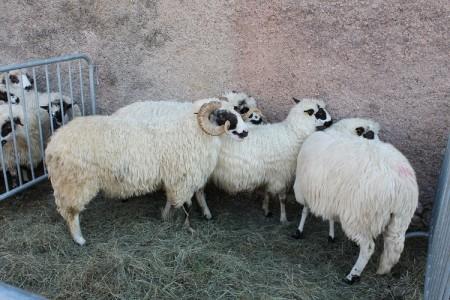 Stado koza  iz Benkovca zarazilo Liku