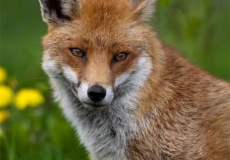Počinje jesenska kampanja oralne vakcinacije lisica