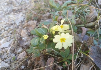 Ludo vrijeme. Jaglaci u Lici cvatu početkom siječnja!!!