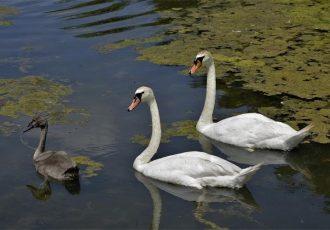 Pojava Influence ptica podtipa H5N8 u labuda na području Vukovarsko-srijemske županije
