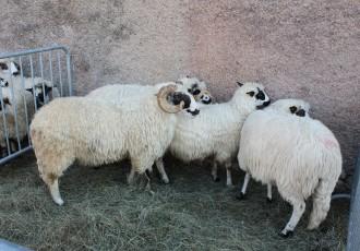 Novalja će 24.listopada biti centar hrvatskog ovčarstva i kozarstva