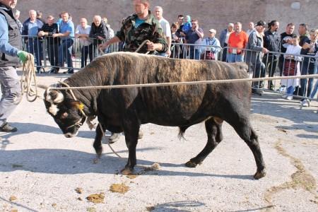 Kreće udruživanje ličkih uzgajivača goveda