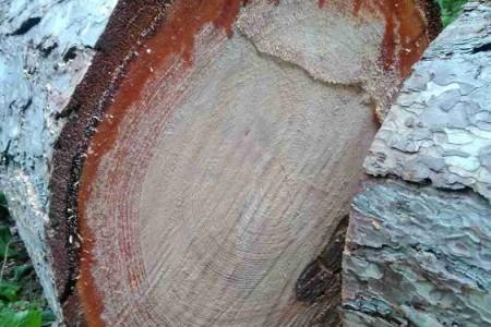 Uklanja se opasno drveće u Jasikovcu